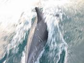 common dolphin pictures