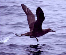 black footed albatros