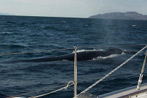 Baja Fin Whale Surfacing