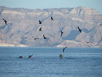Baja Frigate with Birds Following